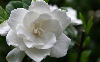 Aceite esencial Gardenia